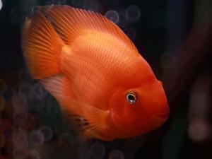 Красный попугай или рыба-попугай Red Parrot Cichlid  - krasniy.jpg