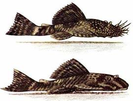 Помогите опознать рыбку опознание рыб  - Ancistrus_dolichopterus.jpg