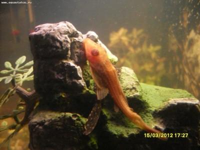 Помогите опознать рыбку опознание рыб  - SDC12562.JPG