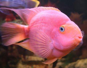Помогите опознать рыбку опознание рыб  - Pink.jpg