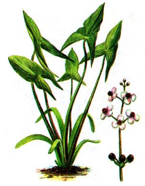 Аквариумные растения - опознание растений. - 11.jpg