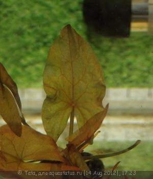 Аквариумные растения - опознание растений. - IMG_2729.JPG