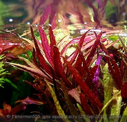 Опознание аквариумных растений - Limnophila_aromatica.jpg