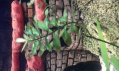 Аквариумные растения - опознание растений. - 0026.jpg