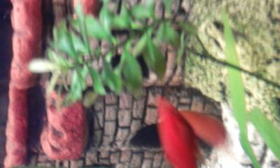 Аквариумные растения - опознание растений. - 0027.jpg