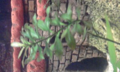 Аквариумные растения - опознание растений. - 0028.jpg