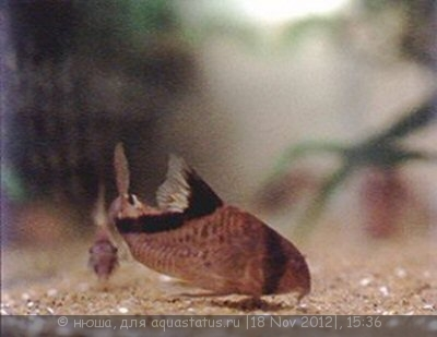 Коридорас диагональнополосый Corydoras Melini  - c_melini2.jpg