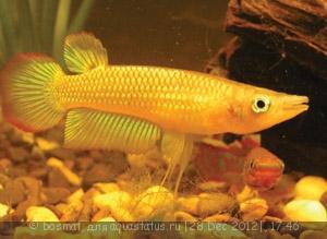 Помогите опознать рыбку опознание рыб  - Aplocheilus lineatus Gold053.jpg