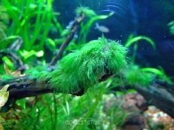 Водоросли в аквариуме - green_beard_algae.jpg
