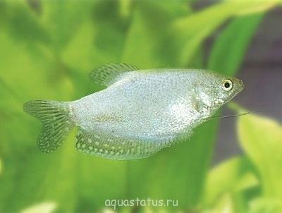 Помогите опознать рыбку опознание рыб  - 465a9368185d.jpg