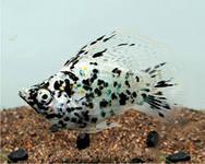 Помогите опознать рыбку опознание рыб  - мо.jpeg