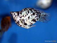Помогите опознать рыбку опознание рыб  - пе.jpeg
