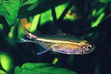 Помогите опознать рыбку опознание рыб  - кос.jpeg