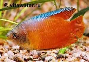 Помогите опознать рыбку опознание рыб  - lal-r-n.jpg
