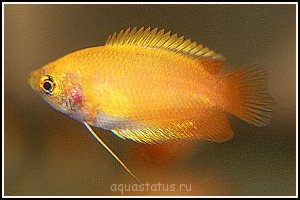 Помогите опознать рыбку опознание рыб  - colisa_chuna_z1.jpg