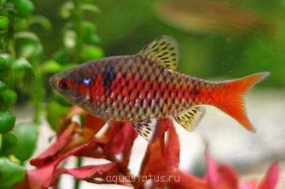 Помогите опознать рыбку опознание рыб  - Puntius padamya.jpg