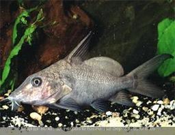 Помогите опознать рыбку опознание рыб  - sinodontis-seryj1.jpg
