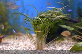 Аквариумные растения - опознание растений. - йц.jpg