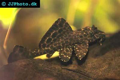 Помогите опознать рыбку опознание рыб  - Glyptoperichthys gibbiceps3.jpg