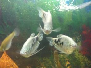 Мой аквариум 80 литров лёва  - IMG_0796.jpg