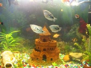 Мой аквариум 80 литров лёва  - IMG_0773.jpg