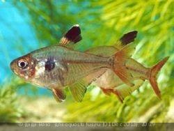 Помогите опознать рыбку опознание рыб  - ornatus_obyknovennyy.jpg