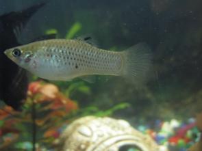 Помогите определить рыбу - IMG_0878.jpg