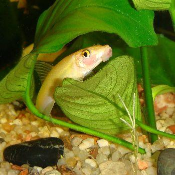 Умирают рыбки в аквариуме - герик2.jpg