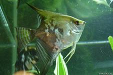 Помогите опознать рыбку опознание рыб  - i.jpg