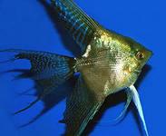 Помогите опознать рыбку опознание рыб  - 2.jpg