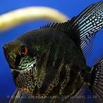 Помогите опознать рыбку опознание рыб  - 4.jpg