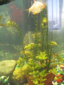 Желтеют растения в аквариуме - IMG_0886.jpg