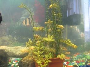 Желтеют растения в аквариуме - IMG_0888.jpg