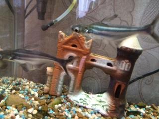 Помогите опознать рыбку опознание рыб  - image (1).jpeg