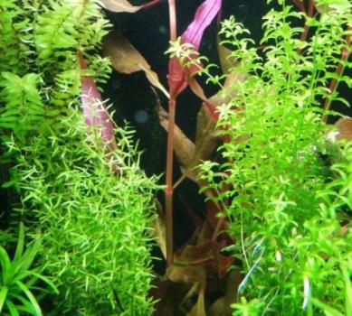 Аквариумные растения - опознание растений. - DSC03721.JPG