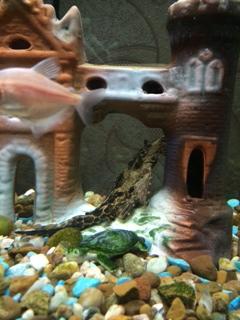 Помогите опознать рыбку опознание рыб  - image.jpeg