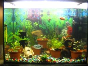 Мой аквариум 80 литров лёва  - IMG_0909.jpg