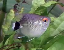 Помогите опознать рыбку опознание рыб  - images.jpeg