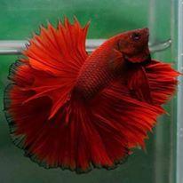 Фотографии селекционных форм петушков - рыбка.jpg