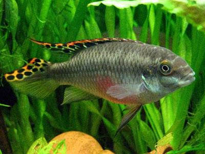 Пельвикахромисы попугайчики  - pelvicachromis_pulcher.jpg