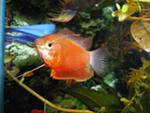 Помогите опознать рыбку опознание рыб  - колиза хуна 1.jpeg