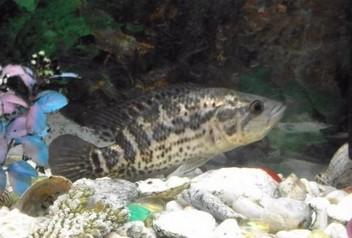 Помогите опознать рыбку опознание рыб  - Скриншот_07_02_2017_22_12_55.jpg