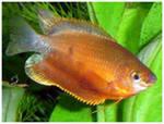 Помогите опознать рыбку опознание рыб  - i.jpeg