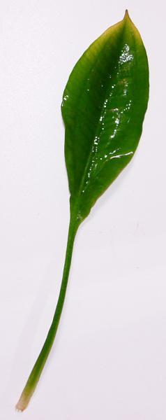 Аквариумные растения - опознание растений. - Блехера.jpg