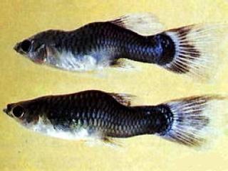 Микобактериоз или Туберкулез у аквариумных рыб - Микобактериоз%20(туберкулез%20рыб).jpg