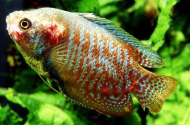Микобактериоз или Туберкулез у аквариумных рыб - album_pic.jpg