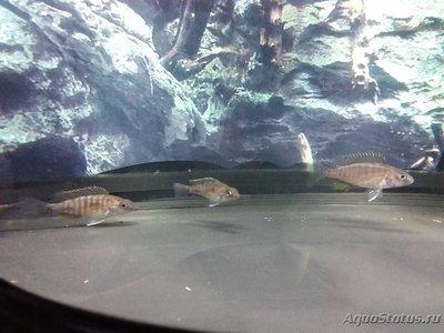 Помогите опознать рыбку опознание рыб  - 20180317_190004.jpg