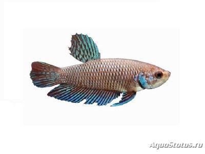 Помогите опознать рыбку опознание рыб  - betta-smaragdovaya.jpg