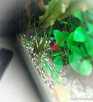 Это критокарина парва, Люценс ,или Уиллиса? - photo_editor_1521917769167.jpg