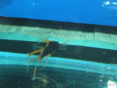 Определение и диагностика болезней у аквариумных рыб - DSC03035.JPG